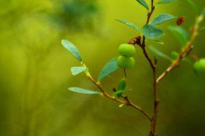 Dwie zielone jagody na krzaczku. Rozmyte tło w tonacjach zielonych.