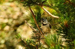 Sikorka obserwuje okolicę z sosnowej gałązki. Ptak stroszy czubek i eksponuje białą pierś. Tło rozmyte.