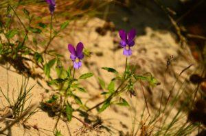 Kwiaty na piasku. Pięć intensywnie zabarwionych na fioletowo płatków z zaznaczonym czarnym kreskowaniem i z żółtym środkiem.