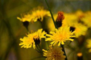 Żółte kwiaty, w których poszczególne płatki postrzępione są na końcach, a z dna kwiatowego sterczą w górę rozwidlone na końcach nitkowate twory. Tło rozmazane.