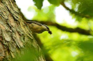 Ptak kowalik usytuowany na pniu w postawie zwróconej w dół. Dziób wypchany licznym pokarmem owadzim. Oko przepasane czarną przepaską, pierś brudno żółta; tło rozmazane.