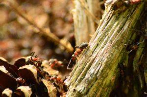 Bardzo duże zbliżenie na mrówkę. Na pierwszym planie widać owada kroczącego po gałązce. Po bokach znajdujemy mniej wyraźne inne mrówki z tej samej kolonii.