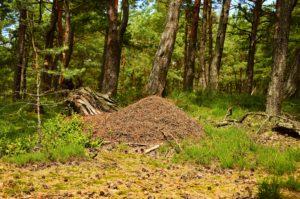 Widok ogólny na stożkowaty kopiec mrówek w lesie sosnowym. Ostre i czytelne tło dopełnia charakteryzujące to miejsce siedlisko borowe.