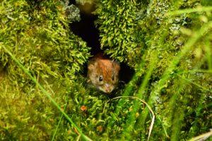 Portret gryzonia wychylającego się z leśnej kryjówki. Pomijając główkę ssaka, zdjęcie wypełniają okalające otwór mchy.