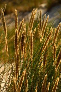 Kadr wypełniają trawy napiaskowe w optimum rozwoju. Gęste żółte wiechy dominują nad podstawą składającą się z cienkich, zielonych, podługowatych listków.