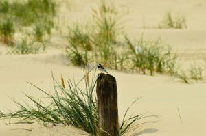 Czatujący na paliku ptak. Wokół dominuje piasek i pojedyncze kępy traw śródplażowych.