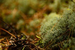 Zbliżenie na dno lasu sosnowego. Widoczna szyszka, igła oraz rozbudowane ciało porostu chrobotka. Tło rozmazane.