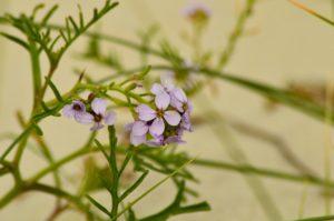 Portret rośliny. Czteropłatkowe, różowawe kwiaty skupione na końcach jakby bezlistnych pędów. Tło rozmyte.