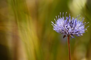 Główka kwiatostanu jasieńca piaskowego. Liczne, cienkie i wolne płatki oraz słupki w tonacji niebieskofioletowej wyróżniają się na zielonym, rozmazanym tle.