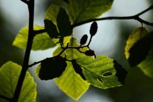 Artystyczny portret olszy obrazujący grę światła i cienia. Widoczny zarys liścia zaostrzonego na końcu oraz zawierające nasiona nibyszyszki.