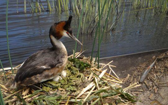 Diorama z ptakami lęgowymi. Perkoz dwuczuby na gnieździe. W tle widok na jezioro z roślinnością szuwarową.