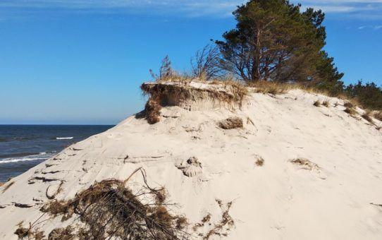 Na tle granatowego morza i błękitnego nieba wydma na szczycie której rosną sosny.