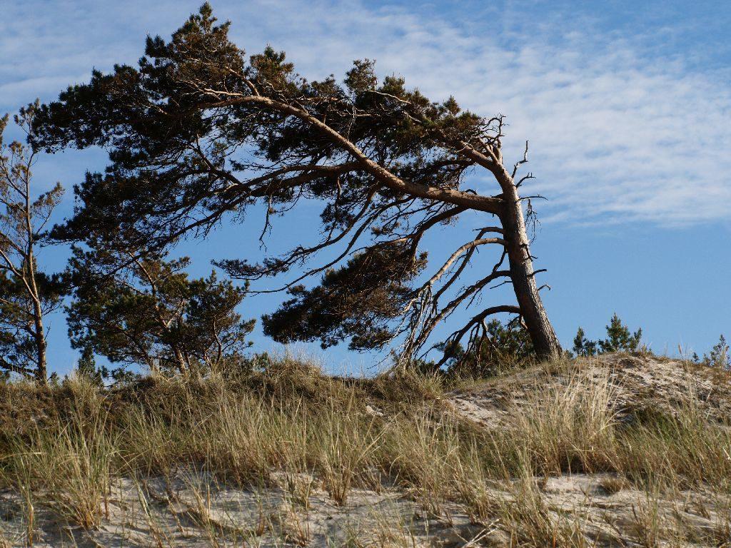 Sosna ostrukturze jednostronnej. Wiejący zwykle zjednej strony wiatr uformował koronę wsposób asymetryczny, mimo todrzewo rośnie wmiarę prosto.