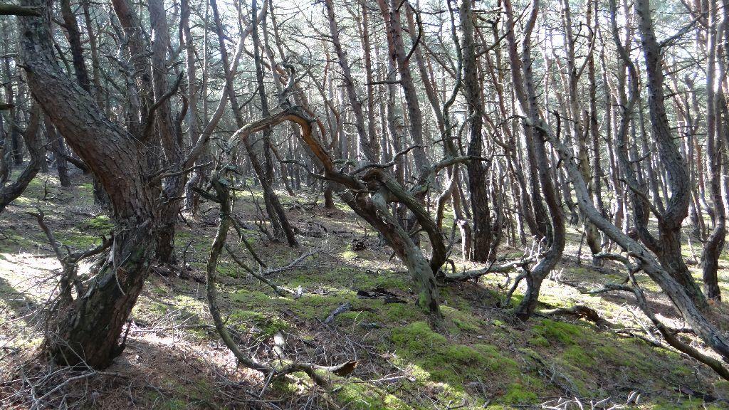 Rachityczne sosny, porastające stok wzniesienia. Drzewa rosną gęsto ipowyginane są wróżne strony.