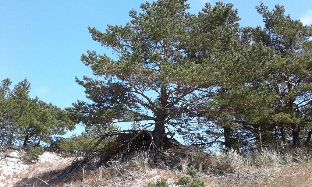 Sosna rosnąca nawydmie zodsłoniętymi przezwiatr korzeniami. Część piasku została najzwyczajniej wświecie wywiana spod sosny.