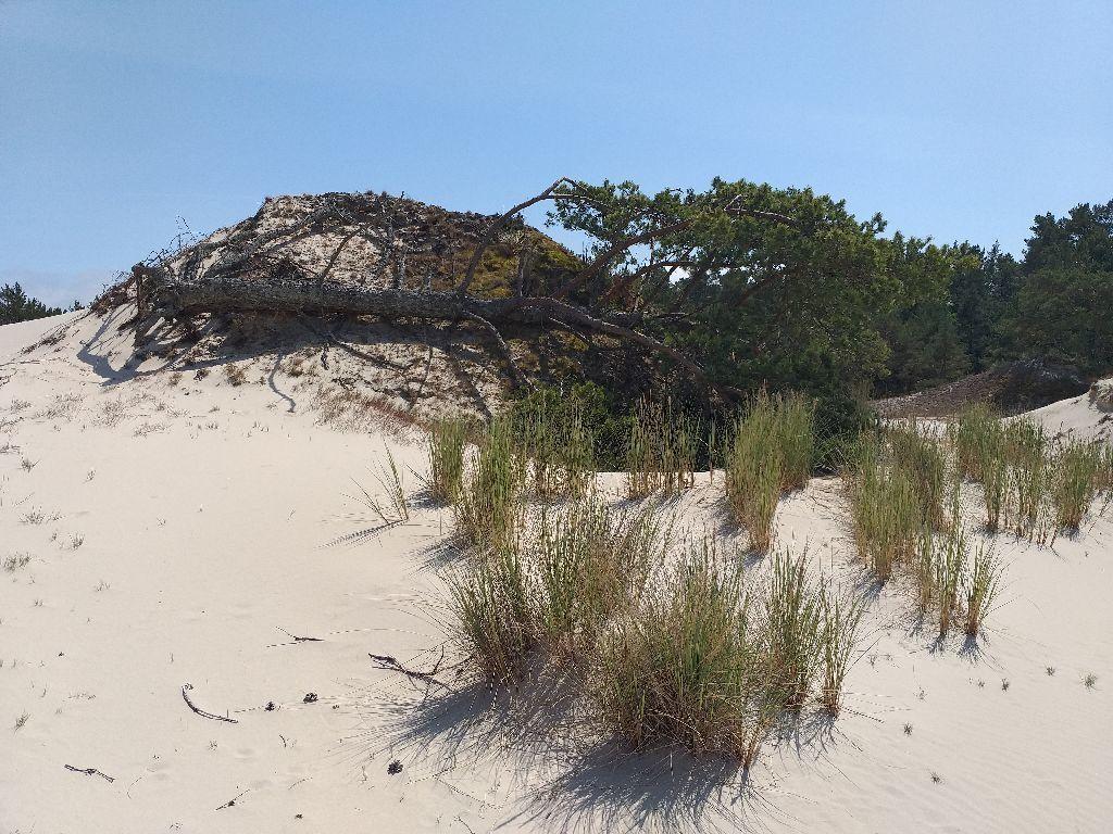 Ciągle zielona sosna spoczywająca naziemi. Drzewo leży nienaturalnie, jednak korzenie wdalszym ciągu tkwią wziemi.