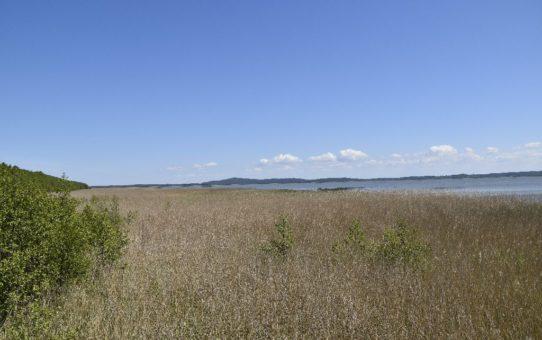 Szeroki pas trzcin na północnym brzegu jeziora Gardno. Na dalekim horyzoncie majaczy wzgórze Rowokół. Piękna, słoneczna pogoda, daleko widoczne białe chmury kłębiaste.