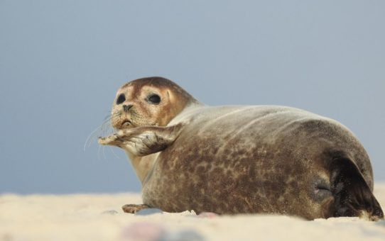 Foka pospolita wygrzewająca się na piasku plaży, pyskiem zwrócona w stronę fotografa. Słoneczna pogoda.