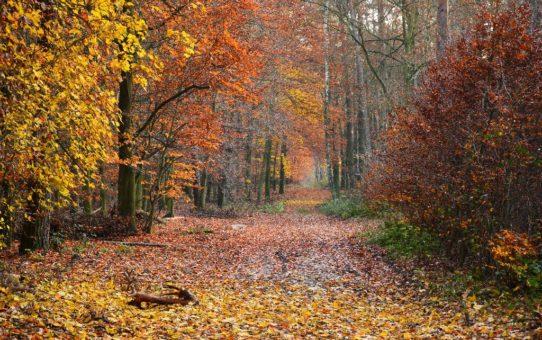 Jesień w lesie liściastym. Niesamowita feeria barw od zanikającej zieleni, poprzez różne odcienie żółtego, pomarańczowego i ciemnego brązu.