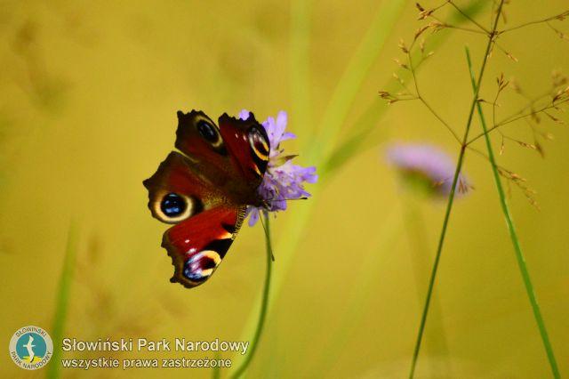 Motyl rusałka pawik siedzący nafioletowym kwiatostanie czarcikęsu łąkowego narozmytym, żółtym tle.