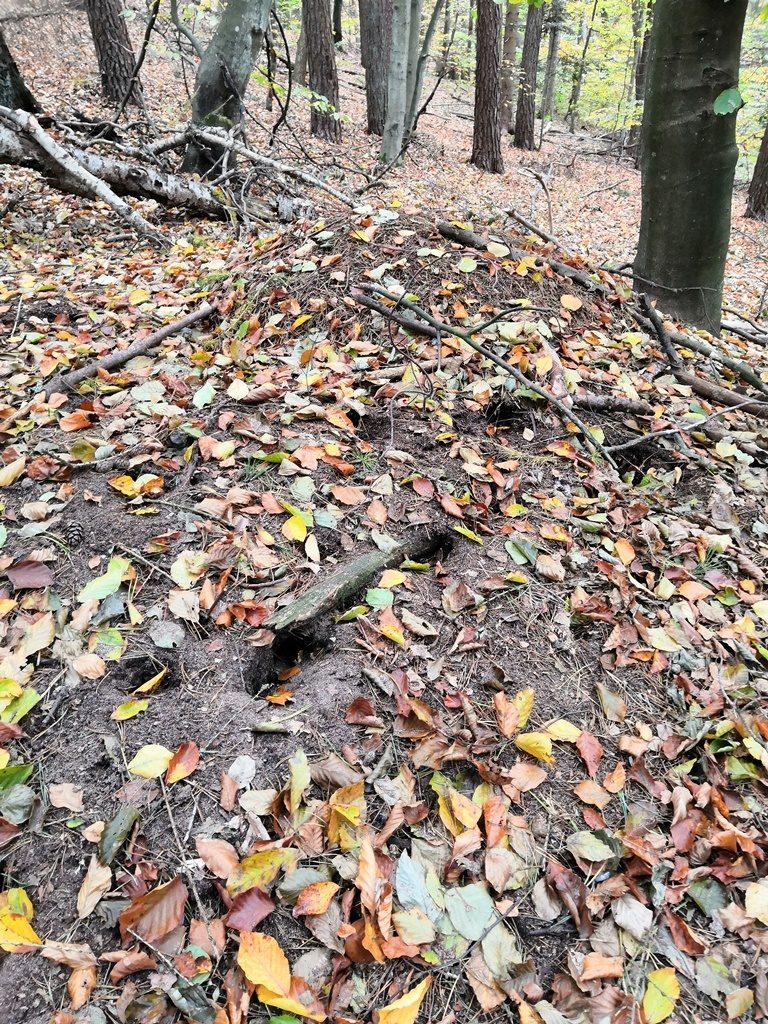 Mrowisko rudnicy przygotowane dozimy, częściowo obsypane opadłymi liśćmi, niewidać krzątających się owadów.