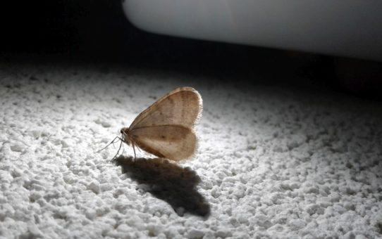 Motyl piędzik przedzimek odpoczywający na białym murze.