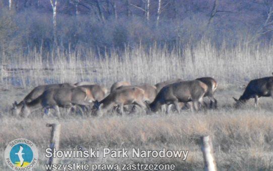 Zdjęcie wprowadzające do artykułu pod tytułem Zima jeleniowatych. Kliknięcie w tytuł spowoduje przejście do pełnej treści artykułu pod linkiem