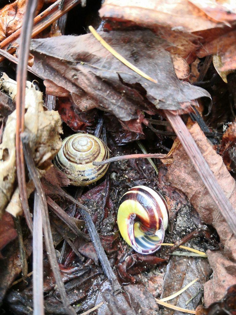 Wśród suchych liści dębu schowały się dwa wstężyki oprawie okrągłych ipaskowanych muszelkach wkolorze żółto-brązowym.