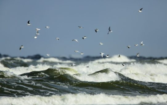 Wzburzone morze zielonego koloru a na nim duże fale z białymi grzywaczami. Na tle niebieskiego nieba stado mew
