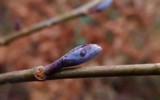 Zdjęcie przedstawia w dużym zbliżeniu obły, fioletowy pąk olszy czarnej na gałązce drzewa, tło rozmazane