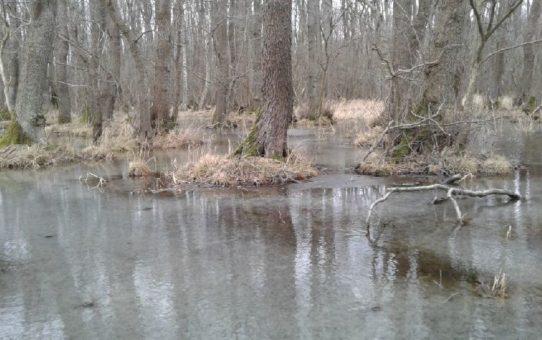 Zalany wodą las olszowy. Wokół dominują tonacje jesienne.