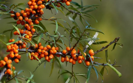 Gałązka rokitnika oblepionego pomarańczowymi kulkami owoców.