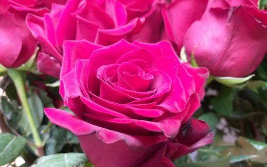 Amarantowe, w połowie rozwinięte kwiaty róż