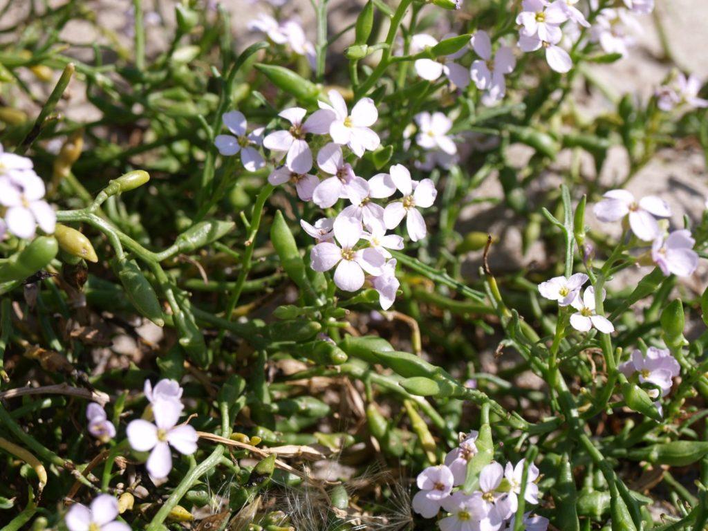 Zbliżenie fioletowo kwitnących kwiatków rukwieli.
