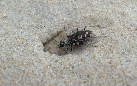 Przy norce wykopanej w piasku dwa trzyszcze. Samiec wskoczył na samicę i trzyma ją żuwaczkami.