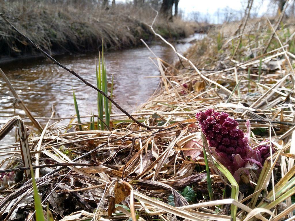 Pojedynczy kwiatostan lepiężnika pośród zeschłych traw nabrzegu rzeczki. Kolor rośliny jest różowy.