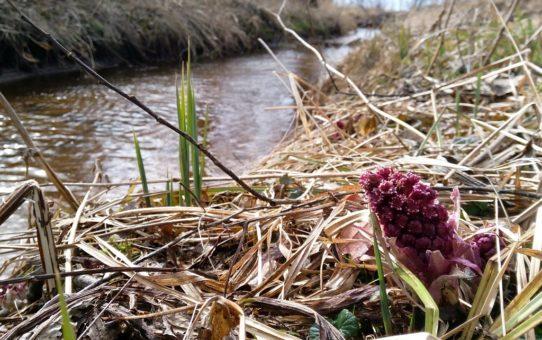 Pojedynczy kwiatostan lepiężnika pośród zeschłych traw na brzegu rzeczki. Kolor rośliny jest różowy.
