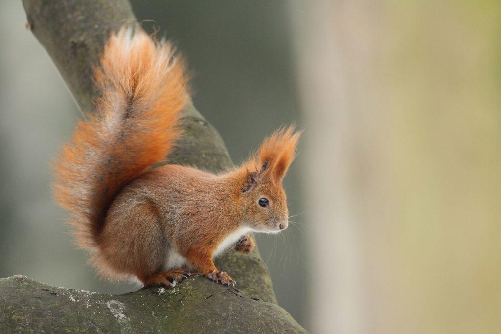 Na gałęzi siedzi rudo-popielata wiewiórka