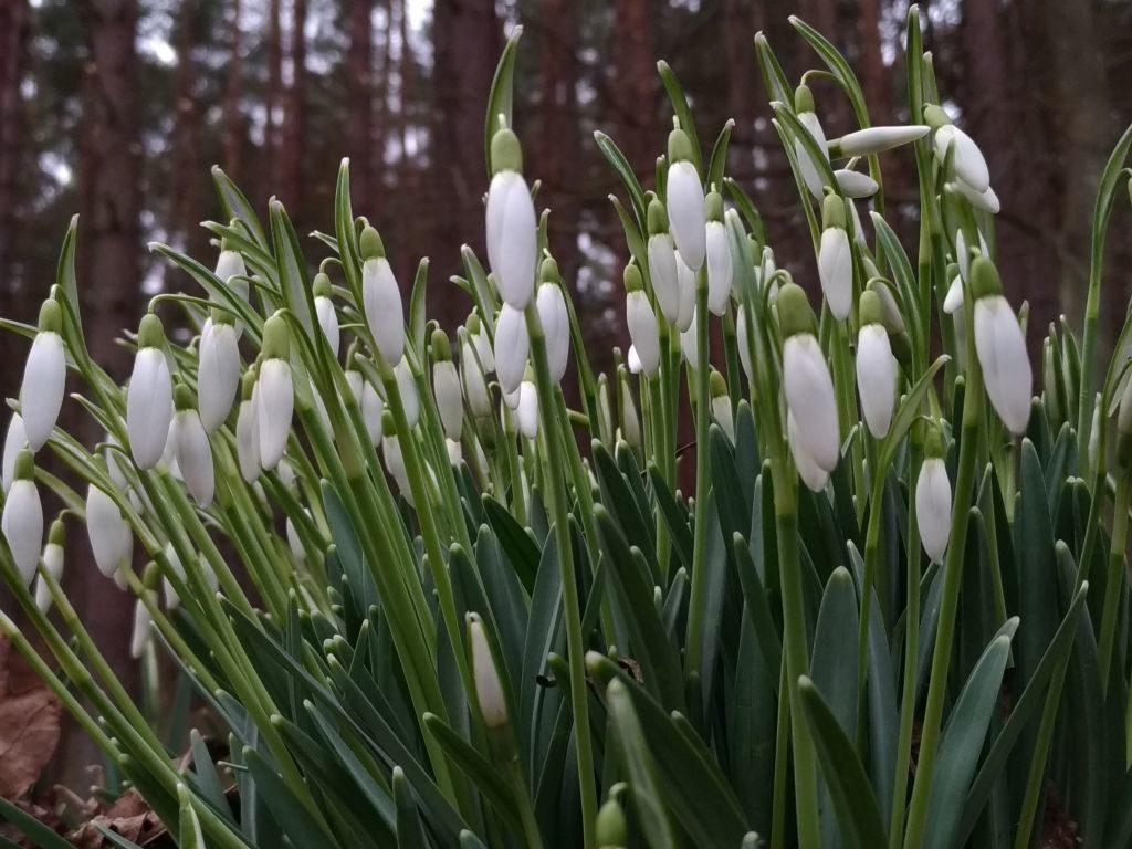 Widok ogólny nakępę roślin. Białe kwiatki wyrastają nałodyżkach, uich podstawy widać sinawozielone dość grube, podłużne liście.