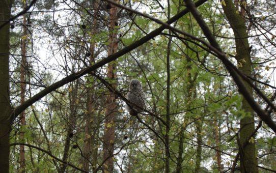 Młoda sowa w upierzeniu puchowym siedzi na gałęzi.