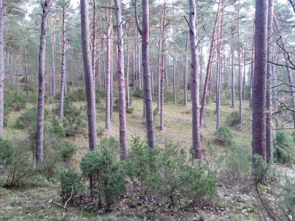 Widok dwuwarstwowego lasu sosnowego zpodszytem jałowcowym. Różne odcienie zieleni przecinają brązowawe pnie drzew
