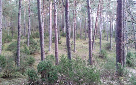 Widok dwuwarstwowego lasu sosnowego z podszytem jałowcowym. Różne odcienie zieleni przecinają brązowawe pnie drzew