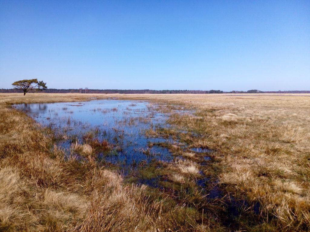 Widok sosny isąsiadującego znią zalewiska wodnego. Prócz wody niewidać innych oznak wiosny.
