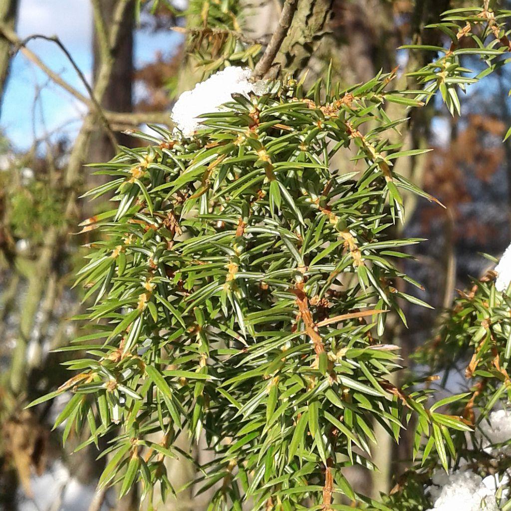 Zbliżenie nakrótkie, ostre izimozielone liście jałowca - igły