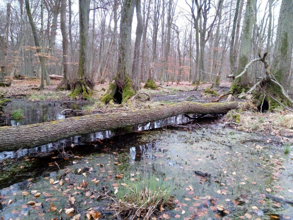 Wiosenny aspekt podtopionego lasu wokresie przedulistnieniem. Obraz spójny oprostej kompozycji zwyróżniającym go jednym powalonym drzewem.