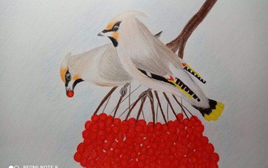 Dwie jemiołuszki siedzą obok siebie na gałązce i skubią czerwone owoce jarzębiny