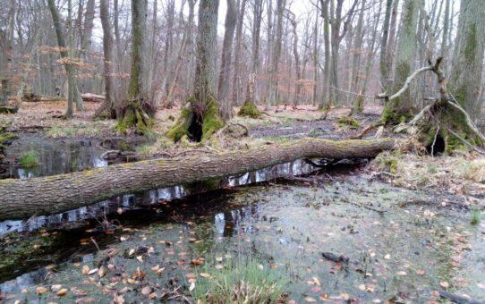 Wiosenny aspekt podtopionego lasu w okresie przed ulistnieniem. Obraz spójny o prostej kompozycji z wyróżniającym go jednym powalonym drzewem.