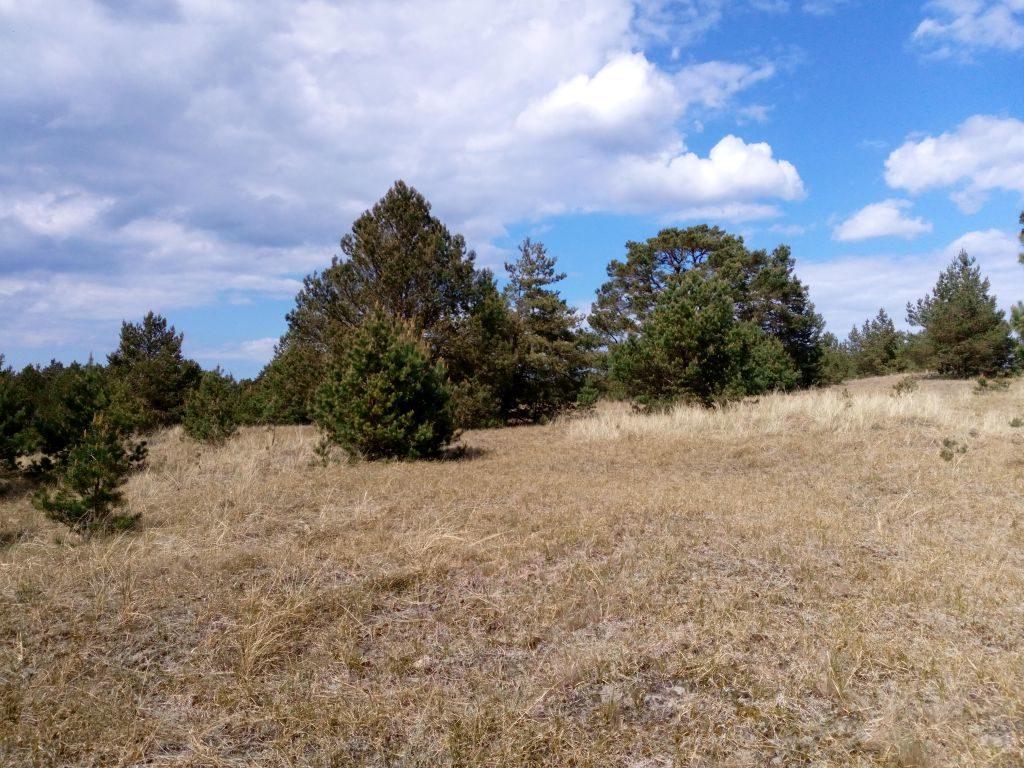 Fragment łagodnego stoku wydmy zniską, zeschniętą trawą. Wtle grupa sosen, błękitne niebo ipojedyncze obłoczki.