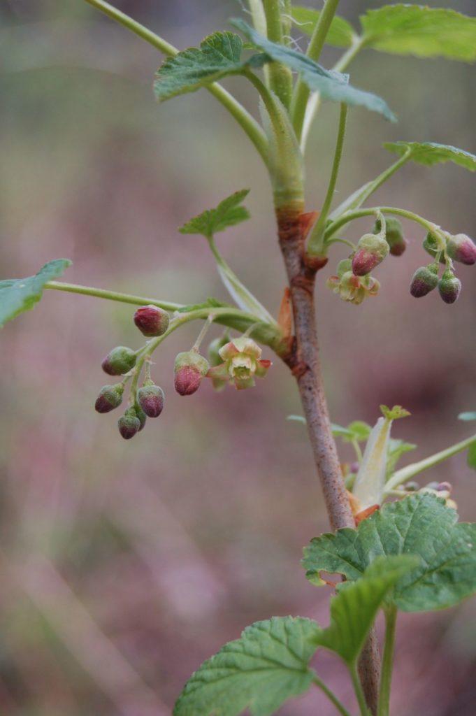 Na ulistnionej gałązce krzewu drobne zielonawe kwiatki zelementami czerwieni. Zbliżenie naroślinę bezszerokiego tła.