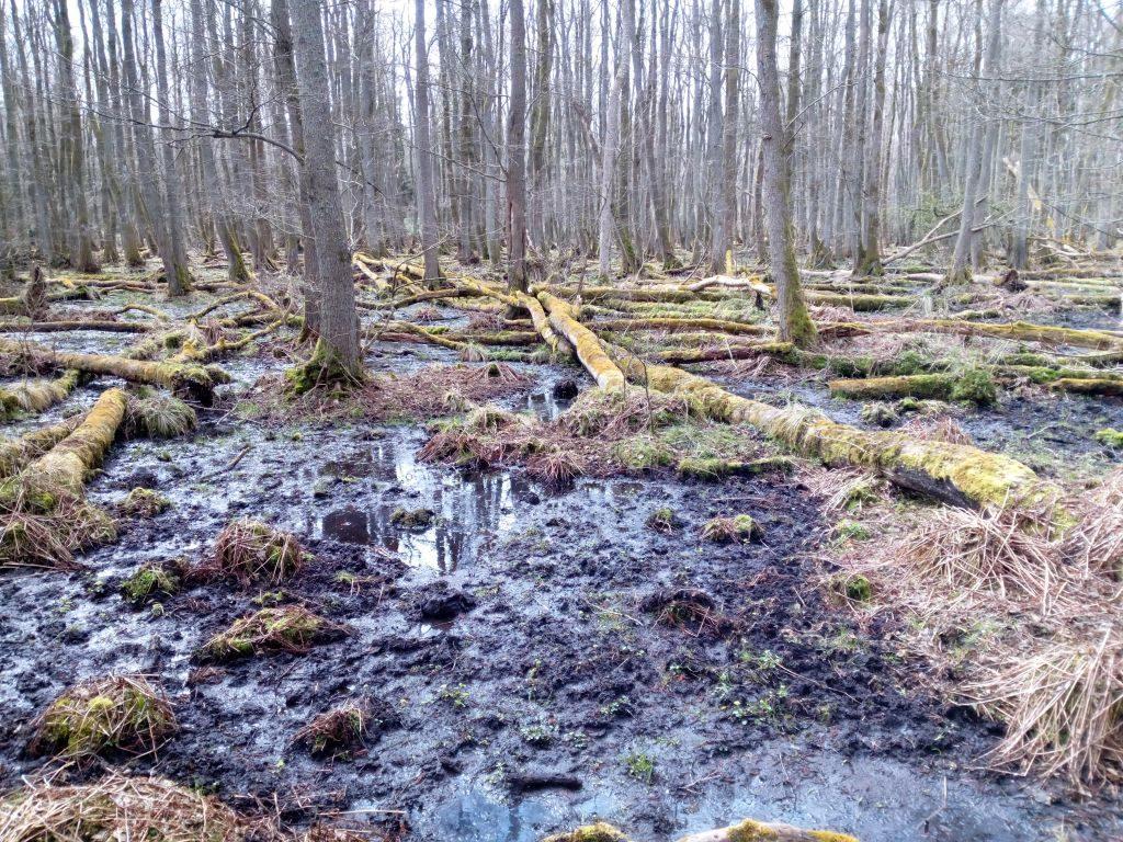 Jednogatunkowy ols wczesną wiosną zeznaczną ilością martwego drewna pośród mokradeł. 5.jpg;15.jpg;71KB;Widok naols zWydmy Łąckiej;fot. Anna Lindyberg; Pogodny kadr składający się zkilku barwnych pasów. Napierwszym planie białe wydmy, dalej kontrastująca zieleń olsu iskrząca się tafla jeziora zwieńczona linią lasów nahoryzoncie.